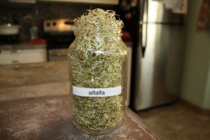 Alfalfa Sprout results